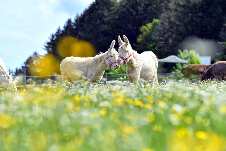 Eselsglück im Freien: Auf Gut Aiderbichl leben die Tiere ohne unnötige Zwänge.