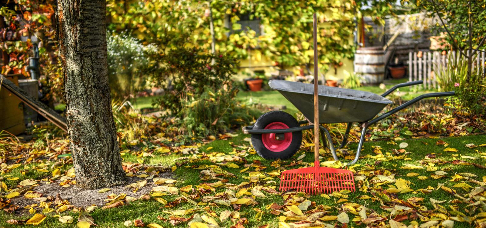 Laub harken: Wer die Blätter im Herbst vom Rasen entfernt, vermeidet gelbe Stellen auf der Grünfläche.