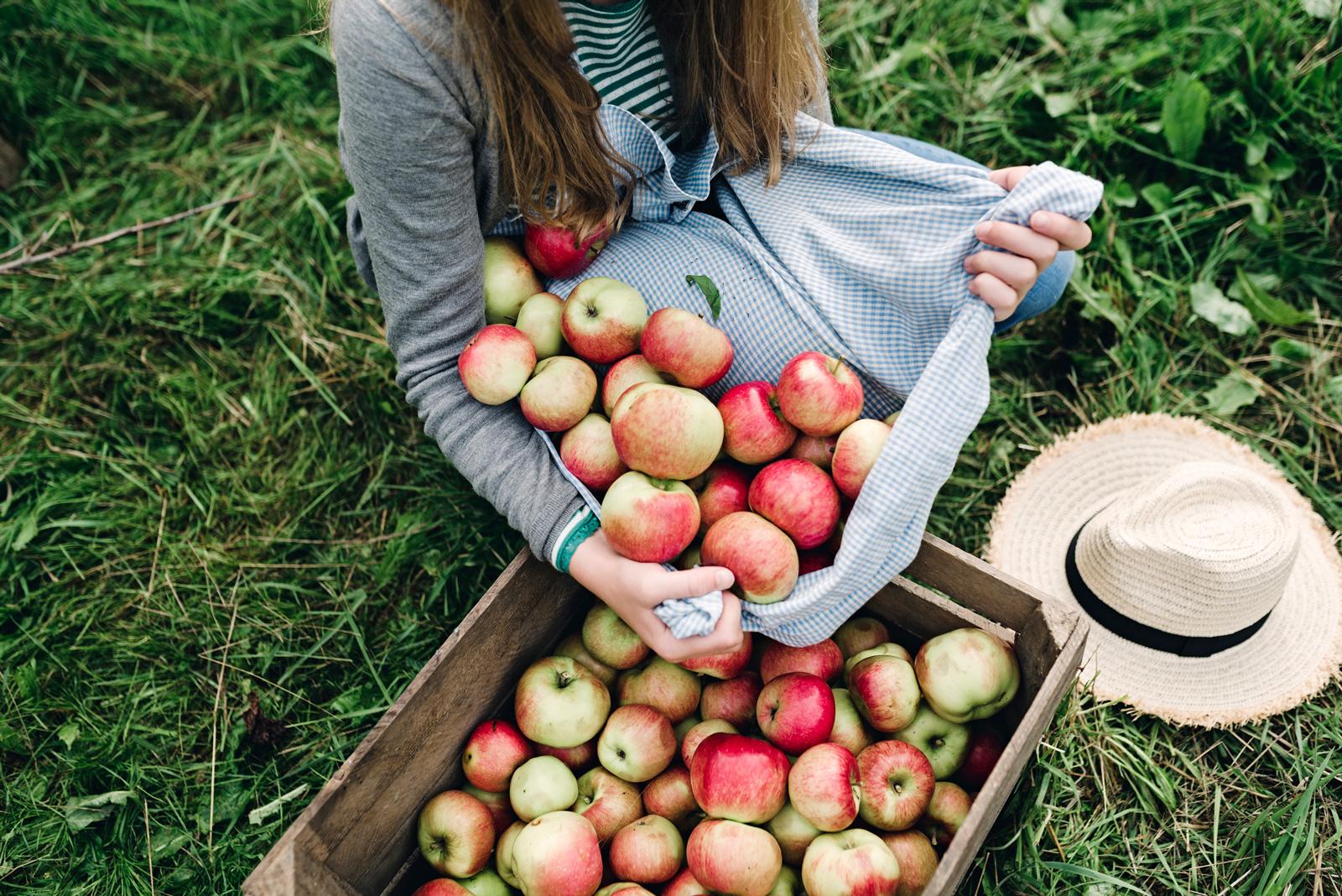 Viel auf einmal: Apfelernte
