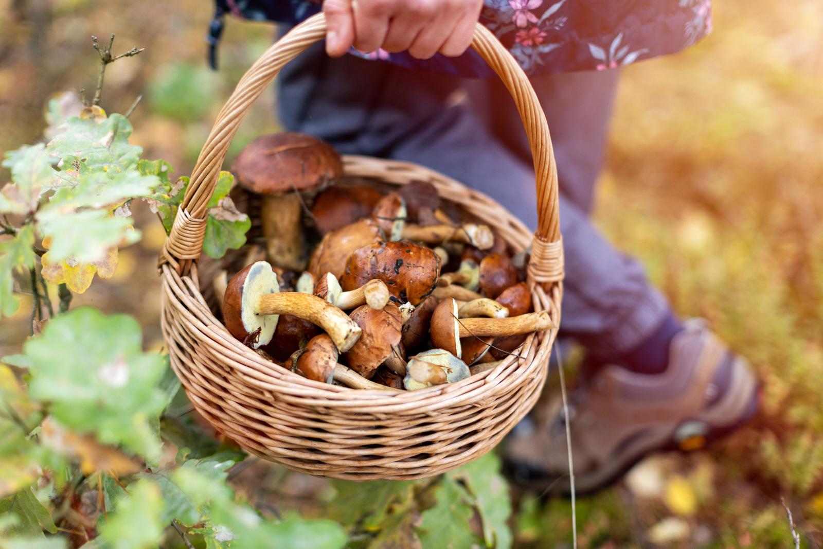 Pilze suchen: herausdrehen, nicht schneiden