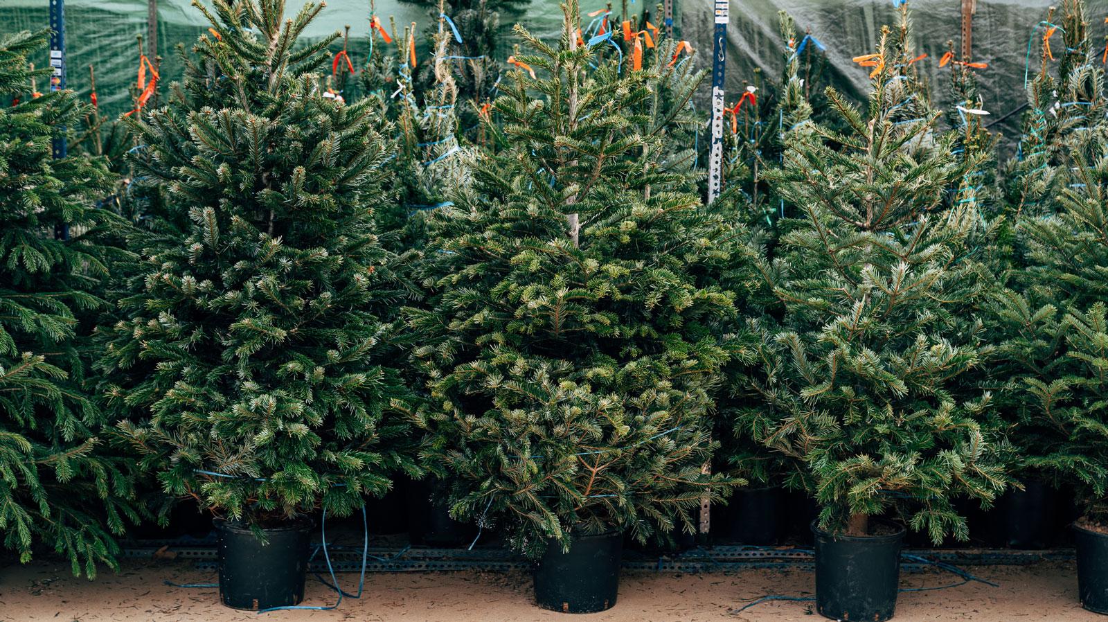 Tanne im Topf: Kann nach Weihnachten wieder eingepflanzt werden