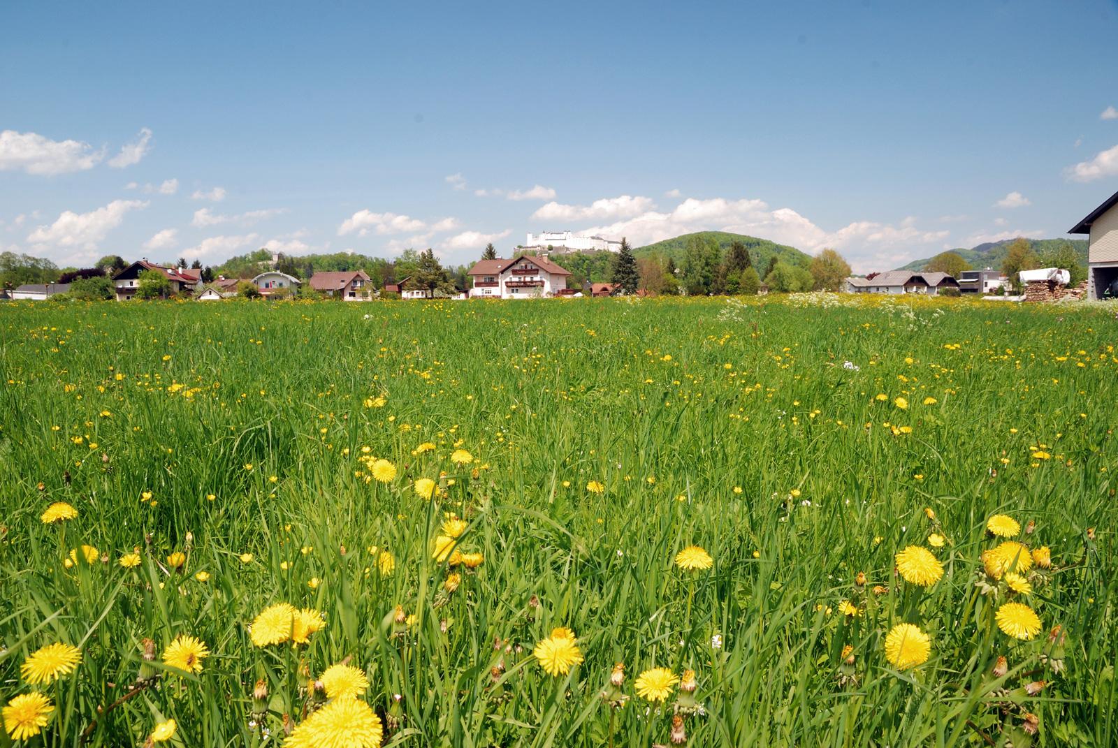 Wiese in der Nähe von Salzburg, im Hintergrund die Hohensalzburg