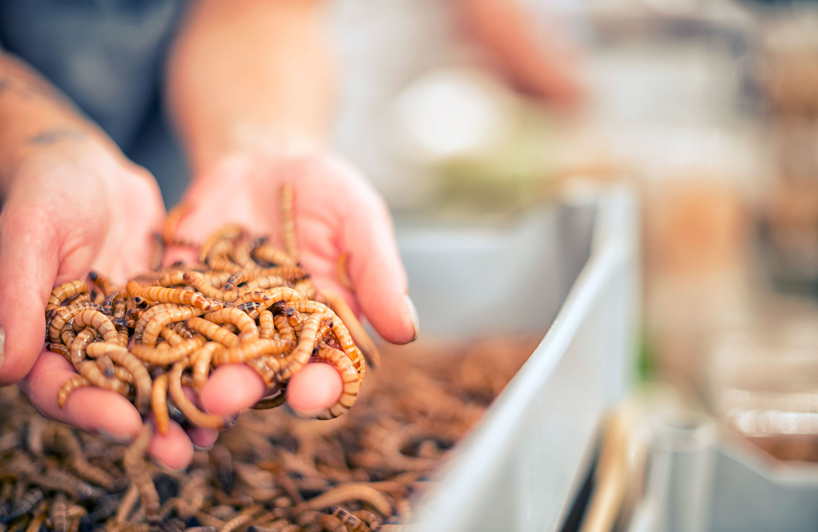 Die Larven des Großen Schwarzkäfers werden als Zophobas oder Superworms vermarktet.