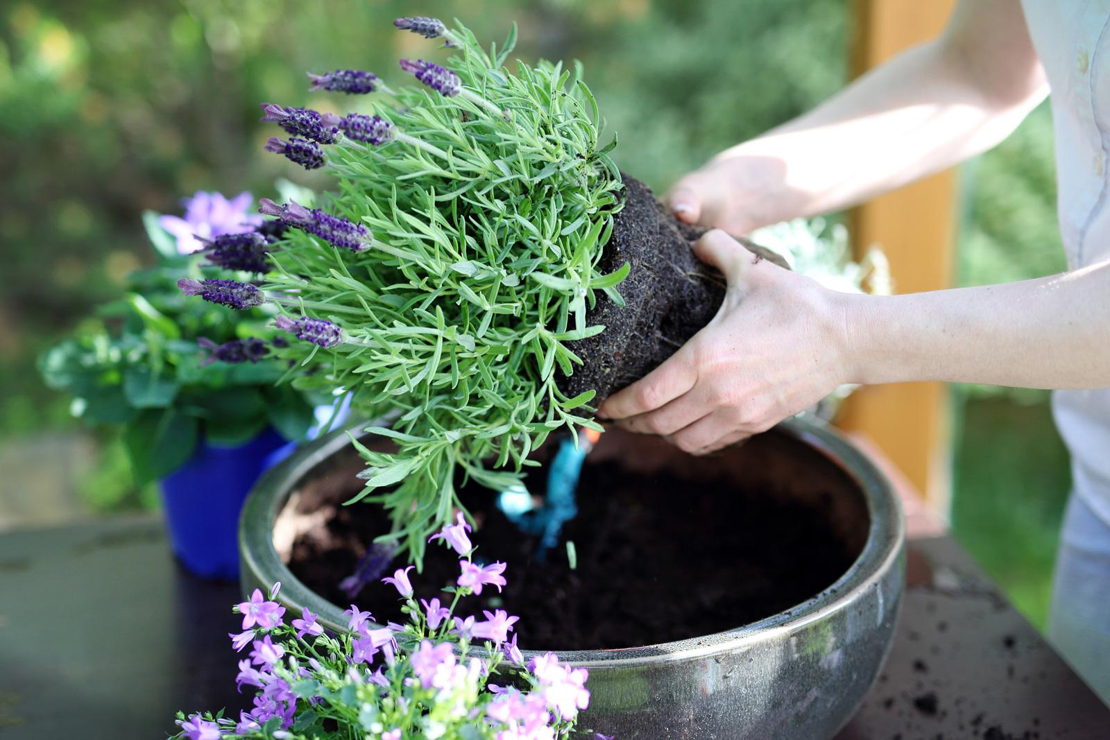 Duftender Frühblüher: Lavendel
