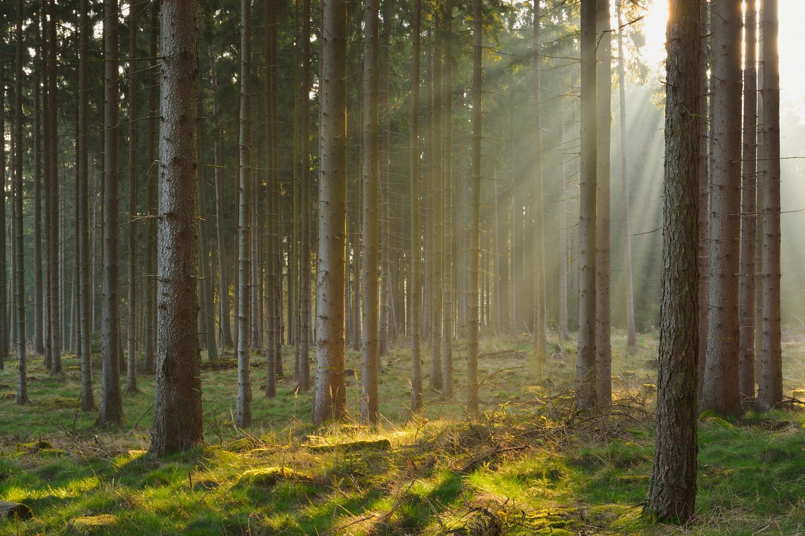 Für wärmeres Klima wenig geeignet: Fichtenwald
