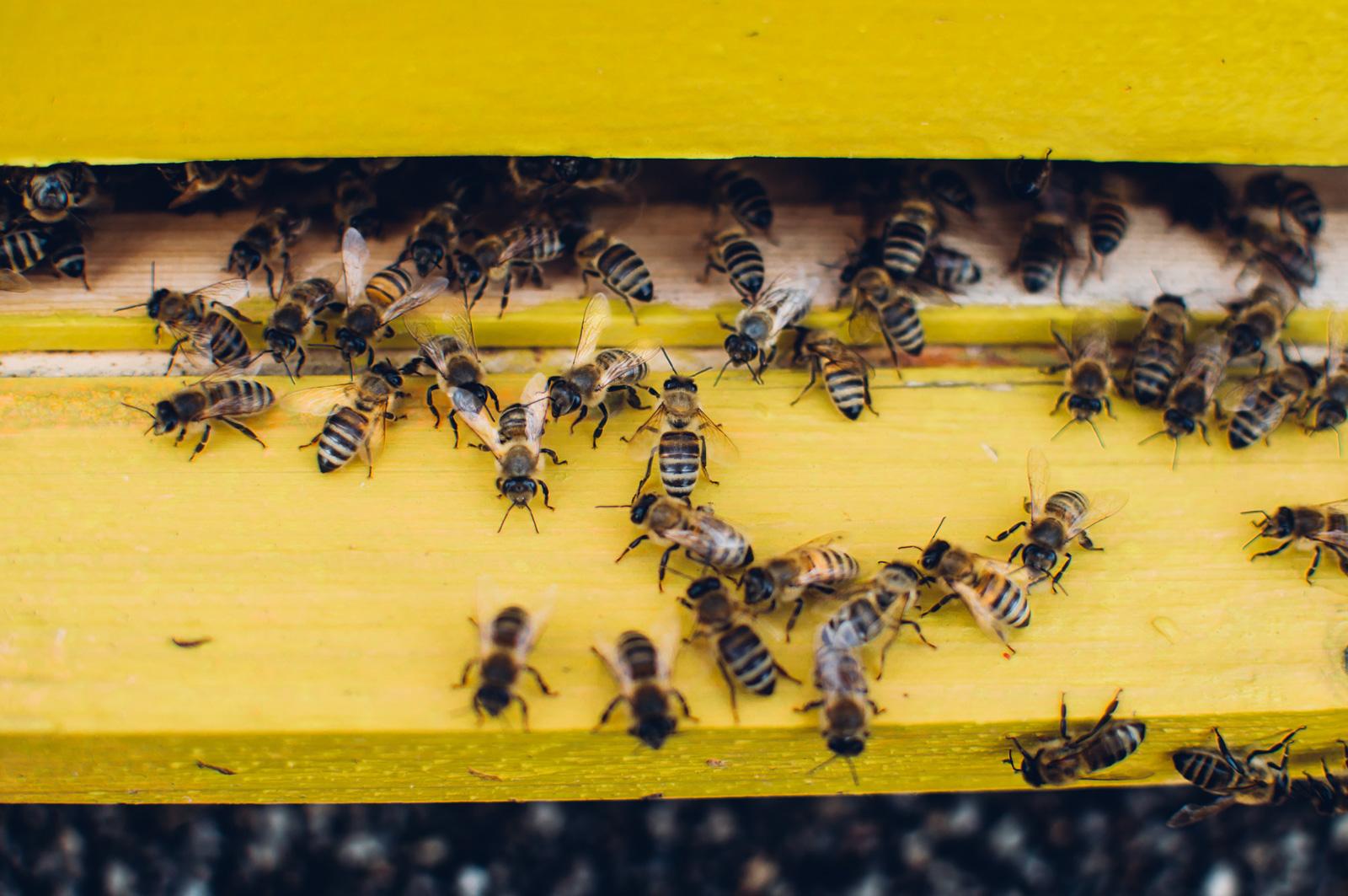 Bienen verlassen den Stock