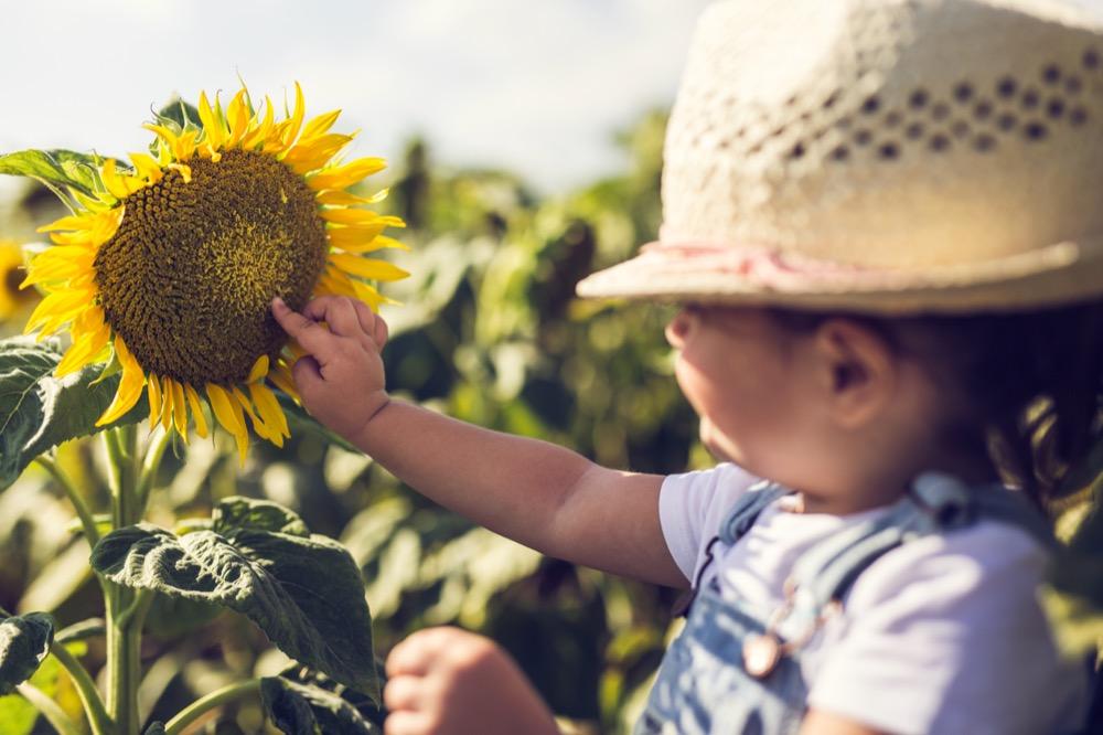 Symbol des Sommers: Die Sonnenblume macht nicht nur gute Laune, sondern liefert auch gesunde Kerne.