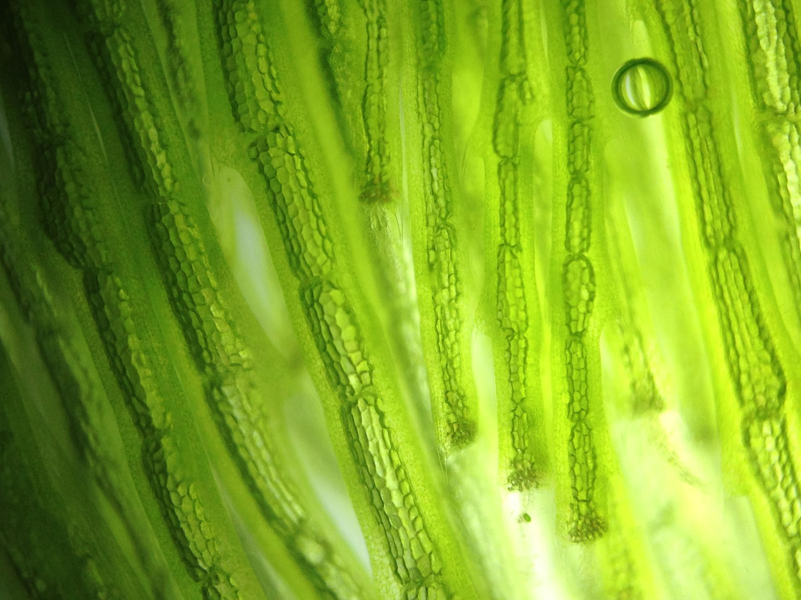 Stromerzeugung durch Photosynthese: Algen unter dem Mikroskop