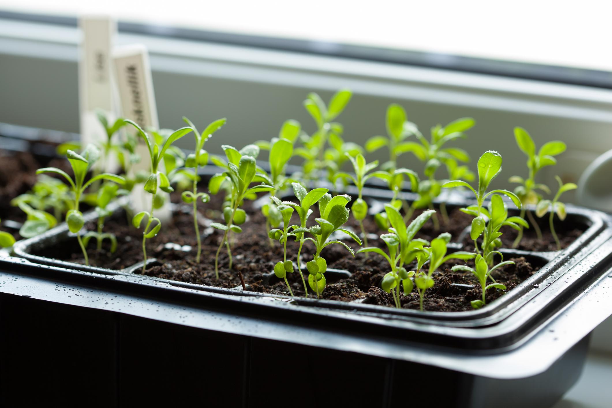 Temperaturabhängig: Manche Pflanzen wie Tomaten und Paprika dürfen erst nach den Eisheiligen im Mai ins Beet. Wenn du die Pflanzen vorziehst, gedeihen sie später umso besser.