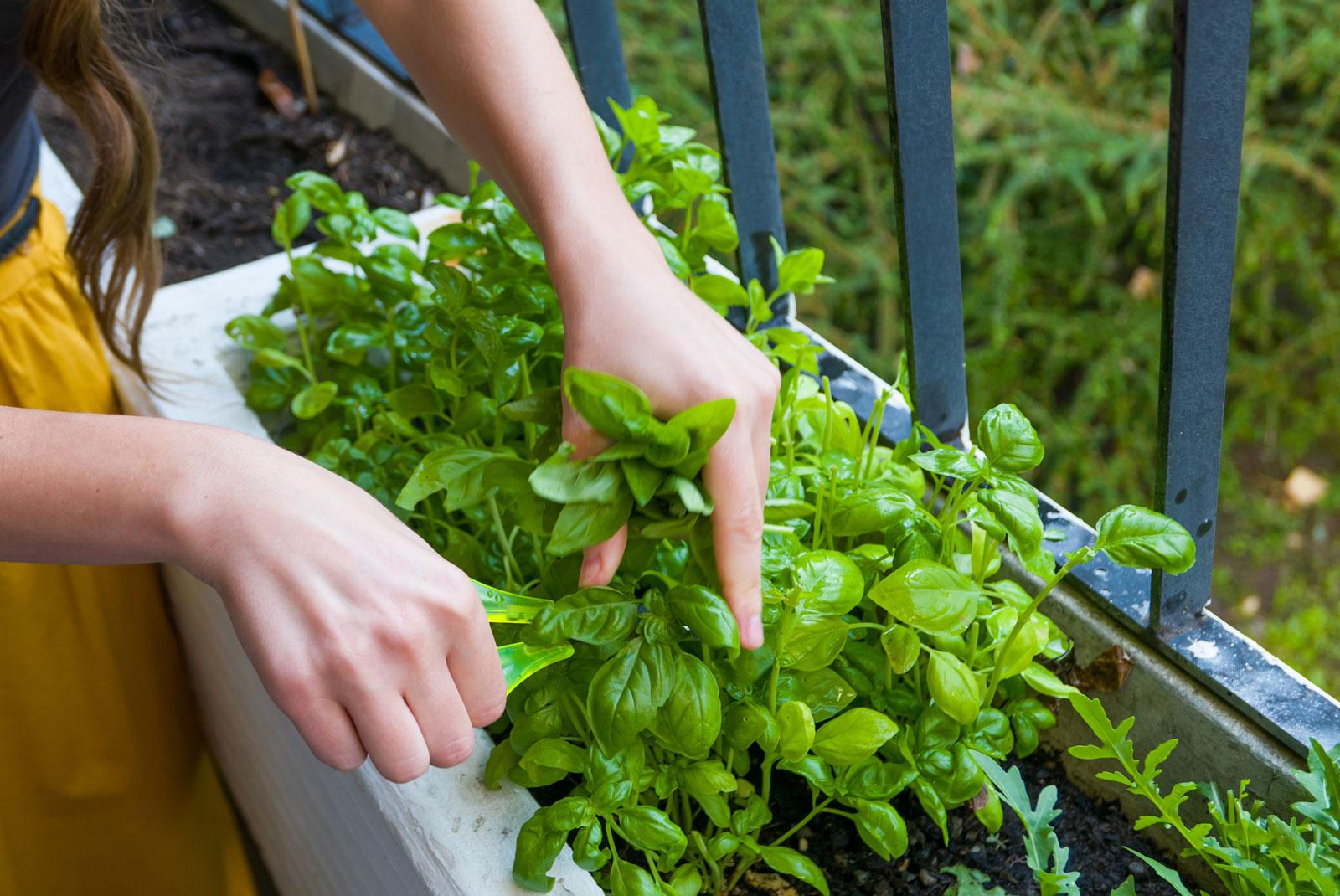 Kräuter für den Balkon: Aromatische Pflanzen wie Basilikum, Minze und Oregano gedeihen auch auf dem Balkon.