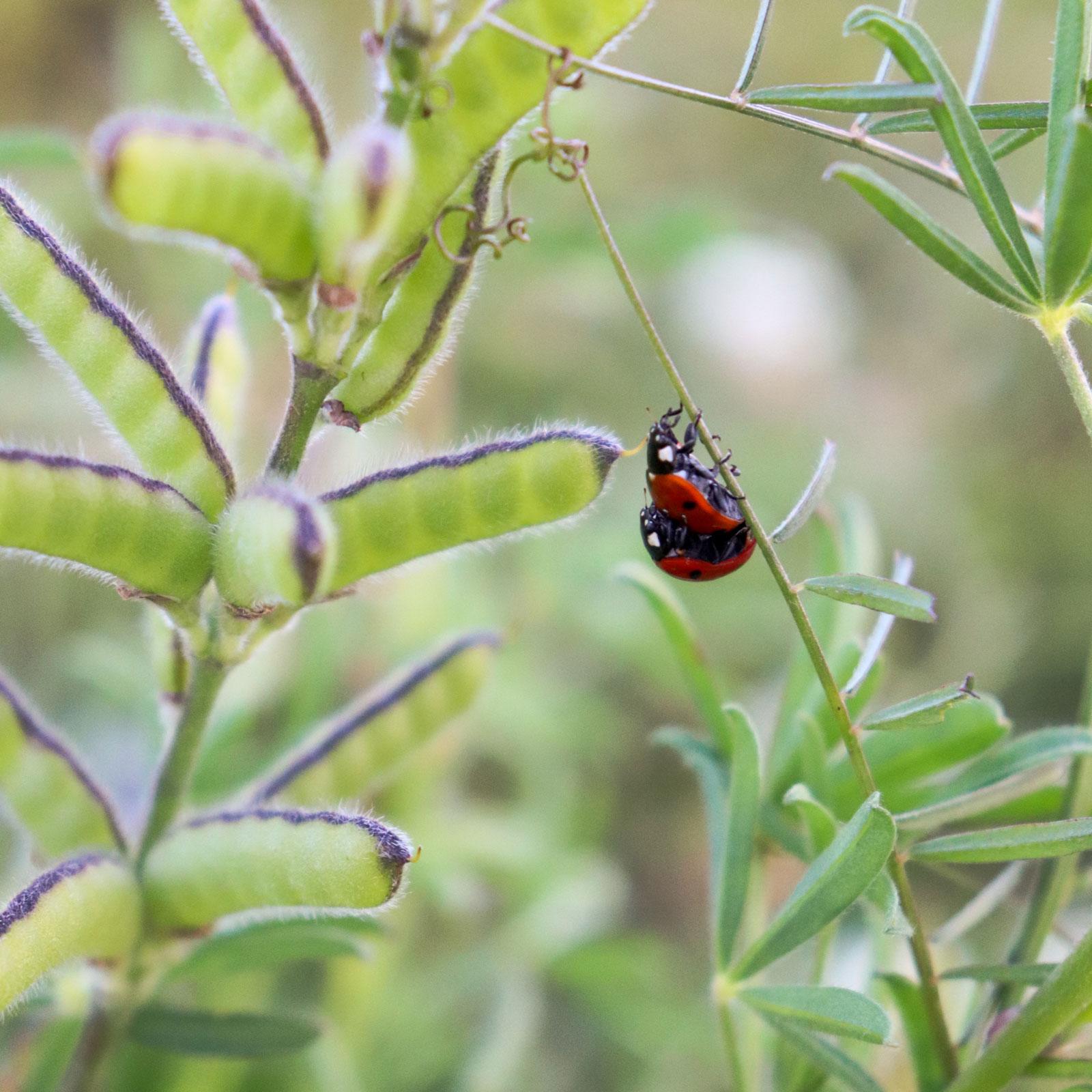 Marienkäfer fressen gerne Blattläuse.