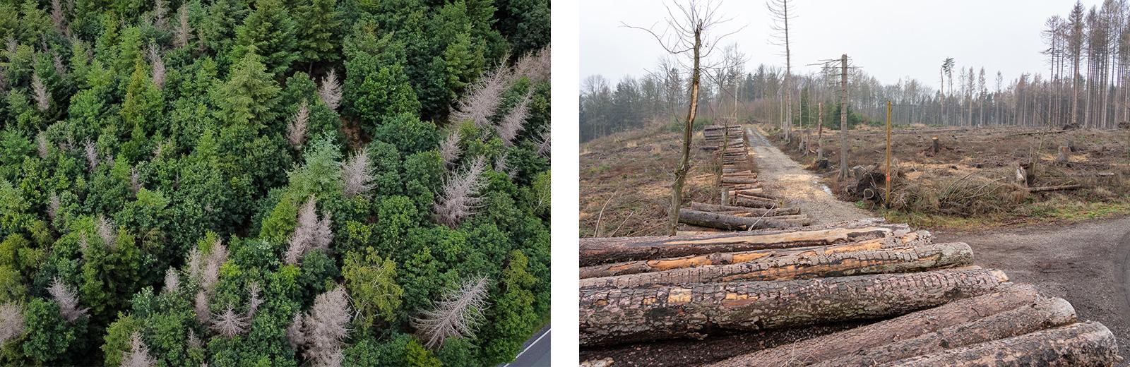 Borkenkäferplage, links: vereinzelte betroffene Bäume, rechts: großflächige Rodung