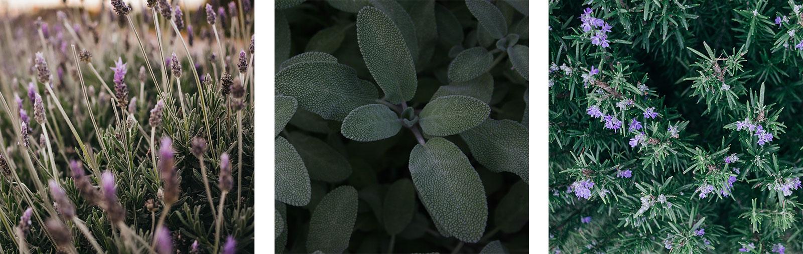 Kommen gut mit Trockenheit zurecht: Lavendel, Salbei, Rosmarin