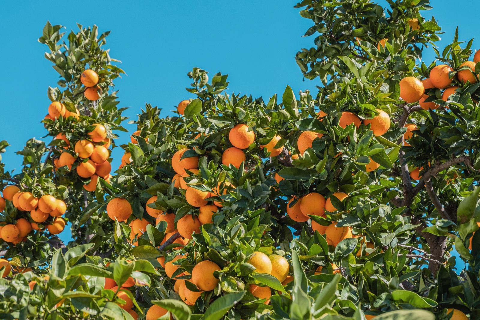 In Südspanien gibt es zu viele Orangen
