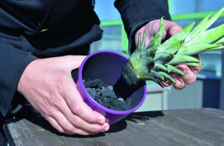 ananas im herbst und winter selber ziehen w stenrot mein. Black Bedroom Furniture Sets. Home Design Ideas