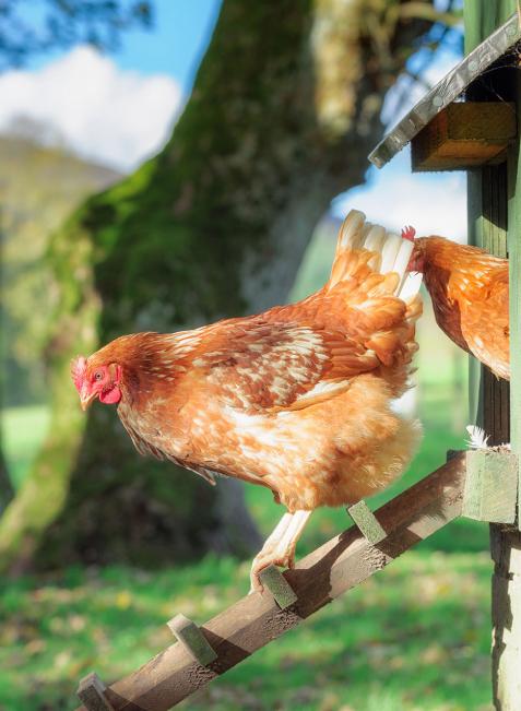 Da Hühner sehr soziale Tiere sind, sollte man mindestens drei Exemplare halten. Wenn man nicht selbst züchten möchte, ist ein Hahn nicht unbedingt nötig. Eier gibt es trotzdem.